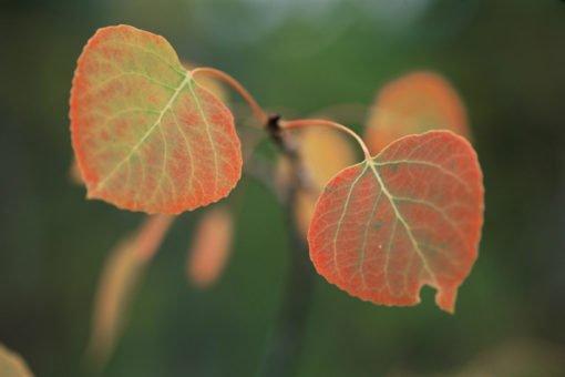 Crested Butte Aspen Leaves