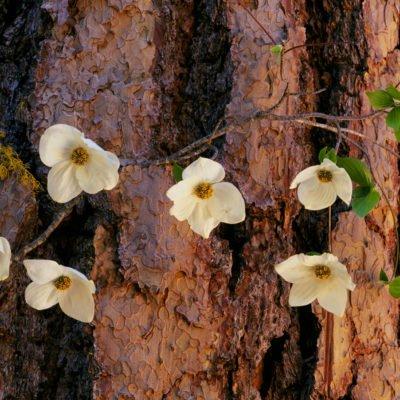 Dogwood on Redwood